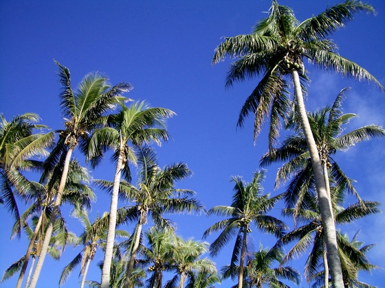 Tall palm trees in Vanuatu