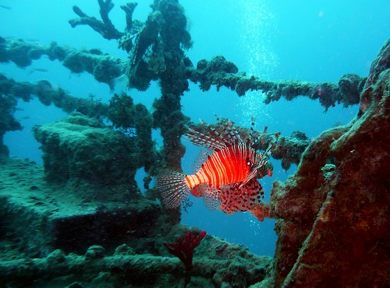 Red tropical fish at an underwater shipwreck