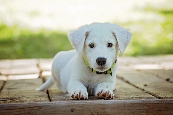 A white puppy dog